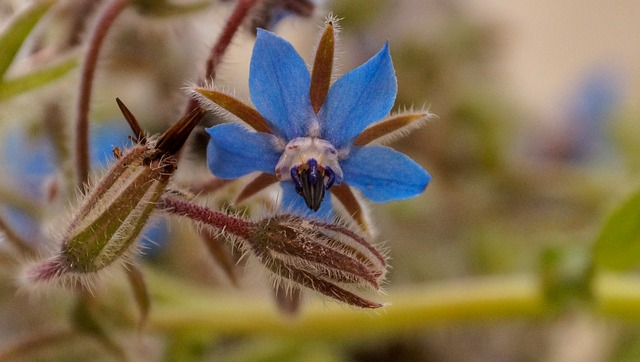 květina brutnák