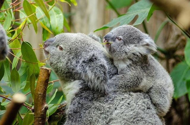 samice koaly s mládětem